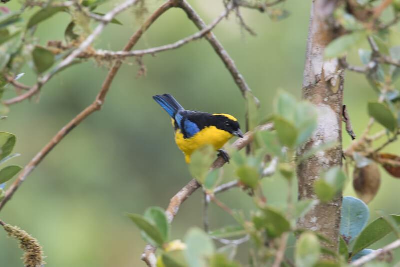 blue-winged mountain tanager   Tángara primavera   anisognathus somptuosus