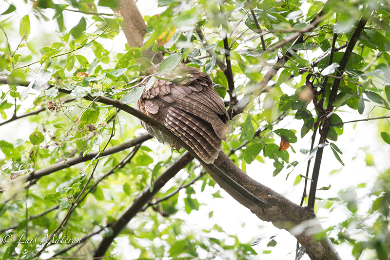 Tropical Screech-owl, Currucutú común, Megascops choliba