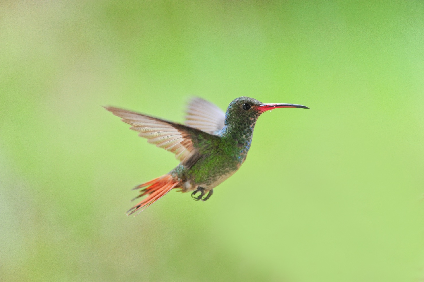 Rufous-tail male
