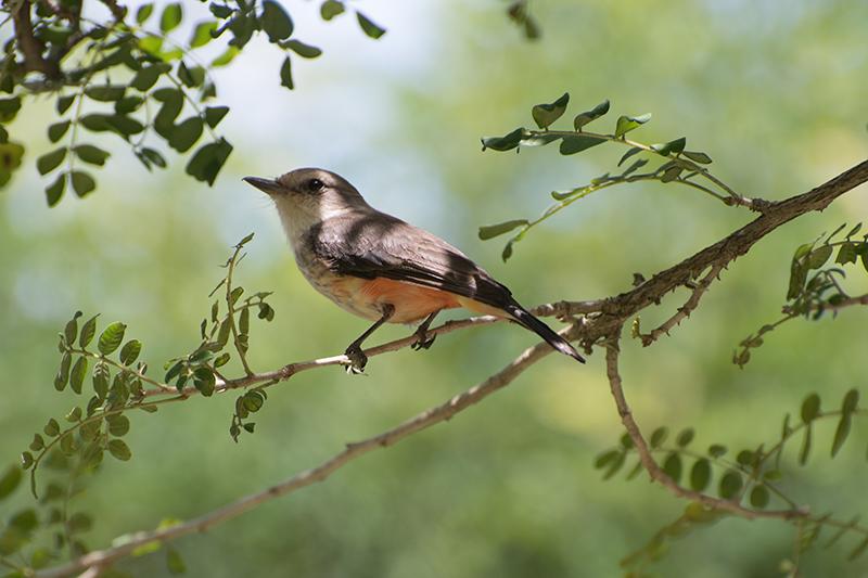 Vermillion flycatcher, Titiribí, Pyrocephalus rubinus