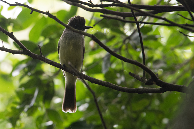Yellow bellied flycatcher, Elaenia copetona