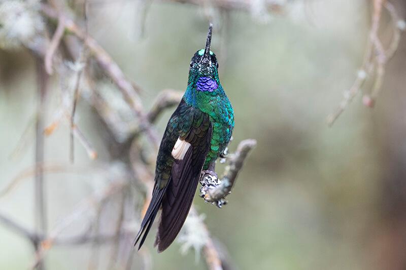buff-winged starfrontlet, Inca galoneado, Coeligena lutetiae