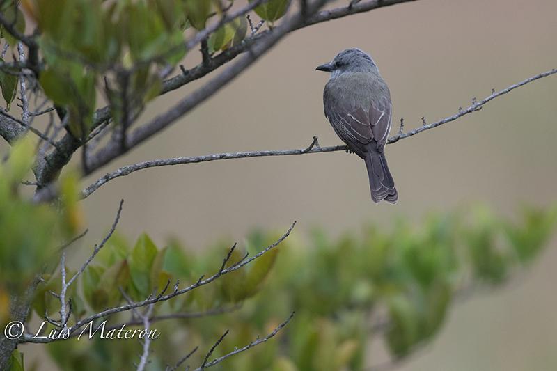 Tropical Kingbird, Siriri Comun