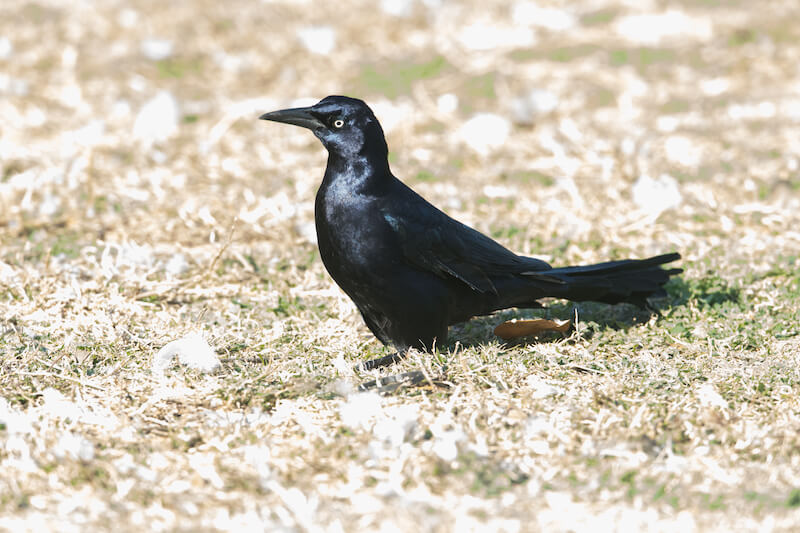 Great-tailed grackle, Maria mulata, quiscalus mexicanus