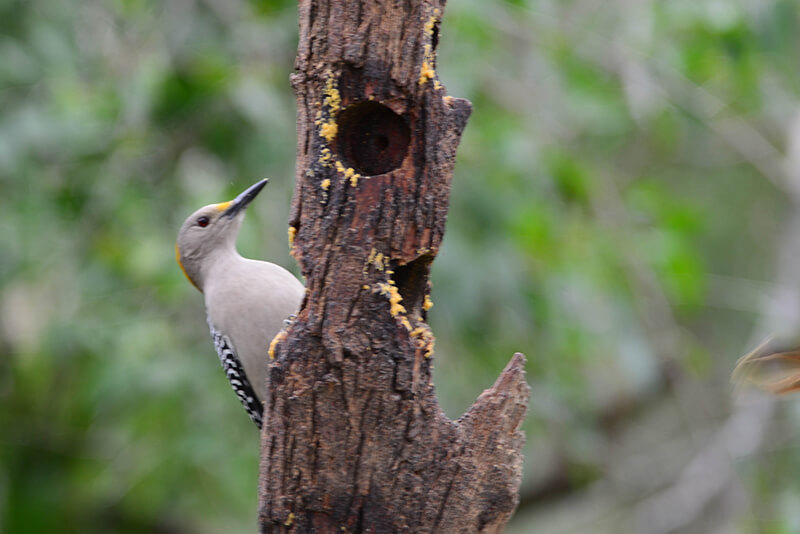 red-crowned woodpecker, Carpintero habado, Melanerpes rubricapillus