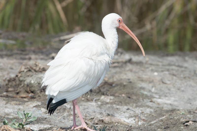 White Ibis, Ibis blanco, Eudocimus albus