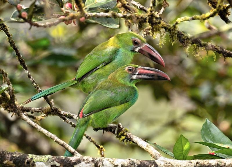 Crimson- rumped toucanet, tucancito cullirrojo, Aulacorhynchus haematopygus