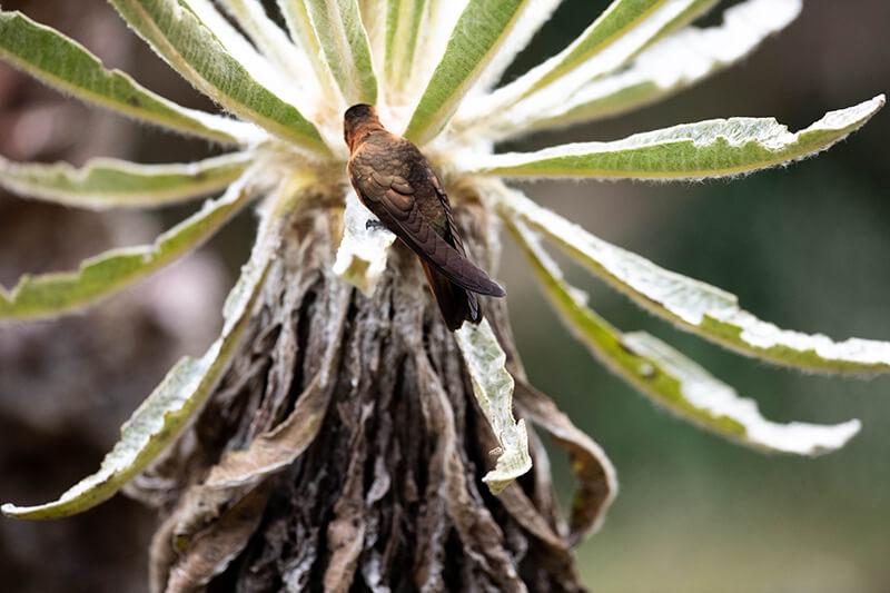 Shining sunbeam, Aglaeactis cupripennis, Colibri paramuno