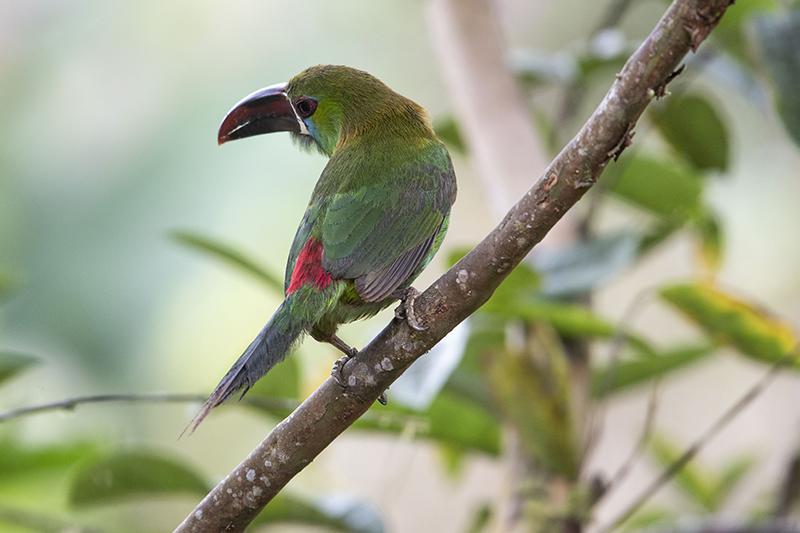 Aulacorhynchus haematopygus, Crimson-rumped tucaner, Tucancito culirrufo
