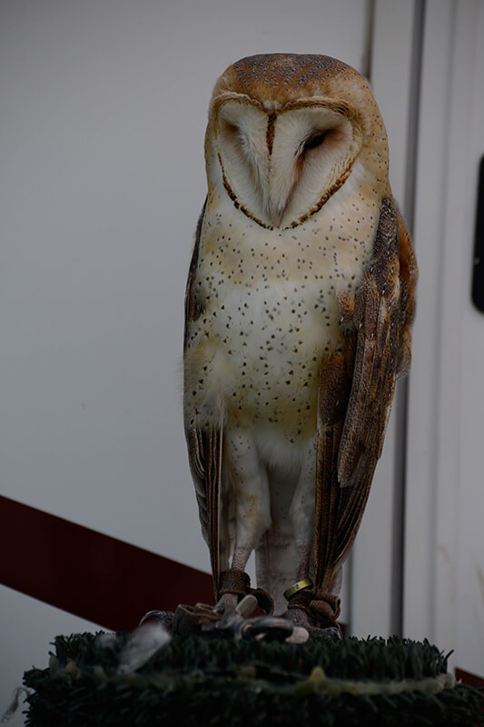 Barn owl, Lechuza comun, Tyto alba
