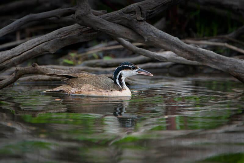 Sungrebe -Colimbo selvatico Heliornis fulica