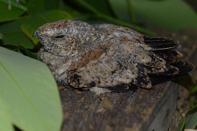 Common Nighthawk | Chotacabras Migratorio | Chordeiles minor