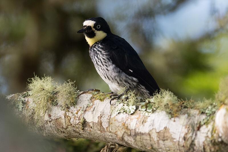 Acorn woodpecker, carpintero de robles, Melanerpes formicivorous