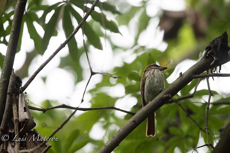 Streaked Flycatcher | Siriri Rayado |  Myiodynastes maculatus