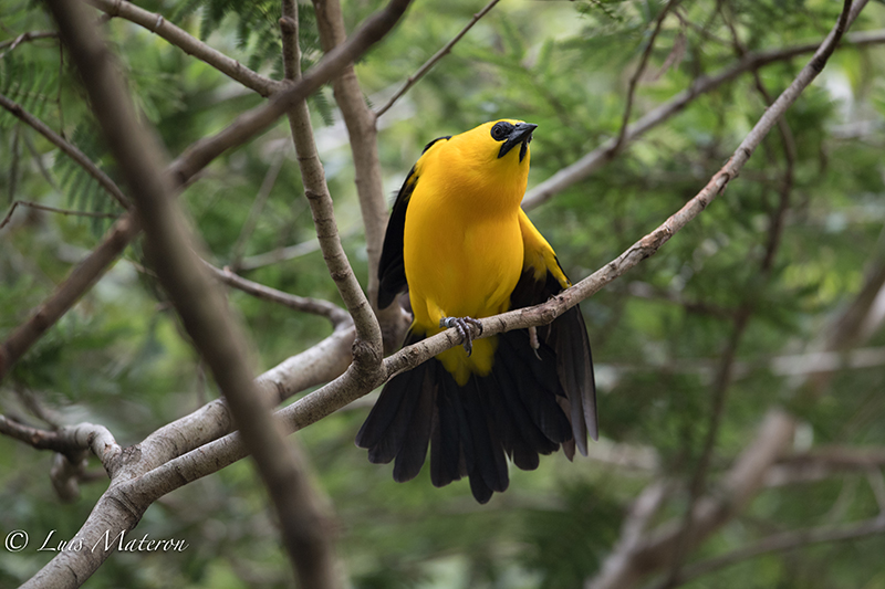 Yellow-backed oriole, turpial montañero, Ictrus chrysater