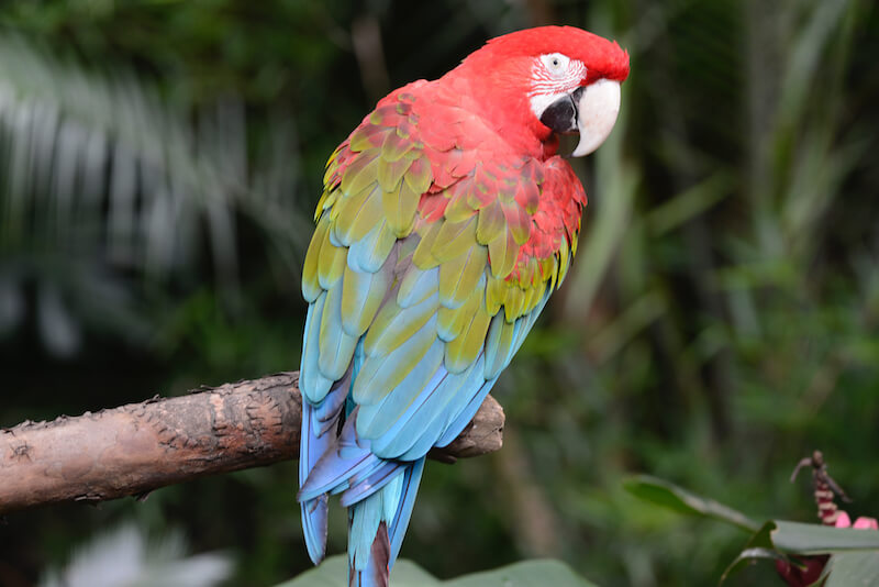 Chestnut fronted macaw, Guacamaya cariseca, Ara severus