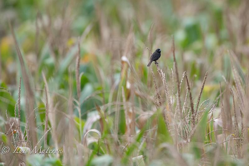 Blue-black Grassquit | Espiguero Saltarín  | Volatina jacarina