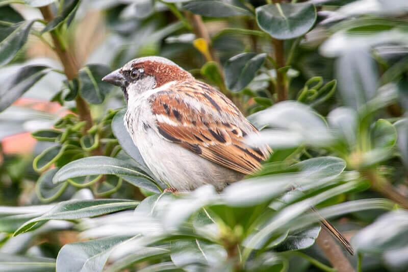 House sparrow, passeridae