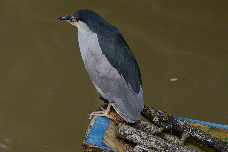 Black-crowned Night Heron | Guaco Común | Nycticorax nycticorax