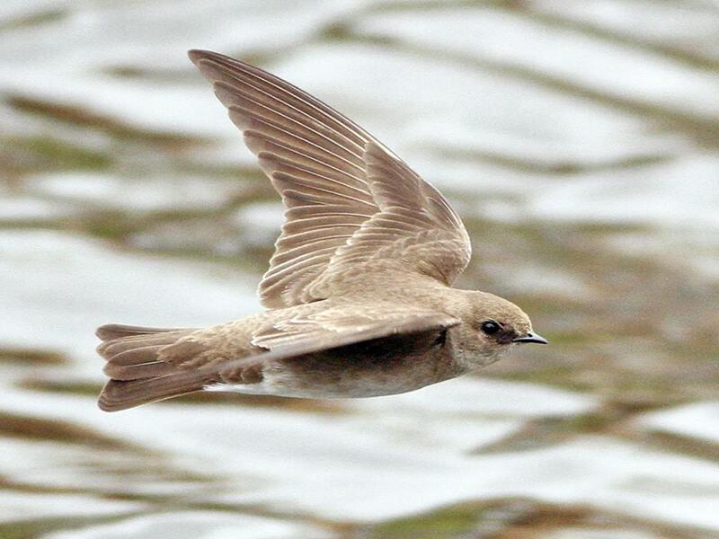 Swifts, Vencejos