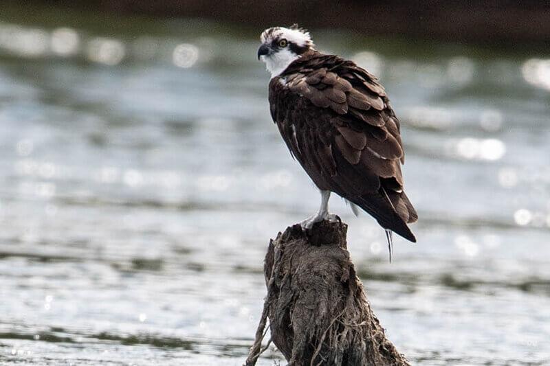 Osprey Gallery, Aguila pescadora
