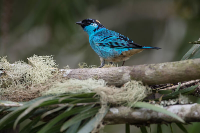 Golden-naped tanager male