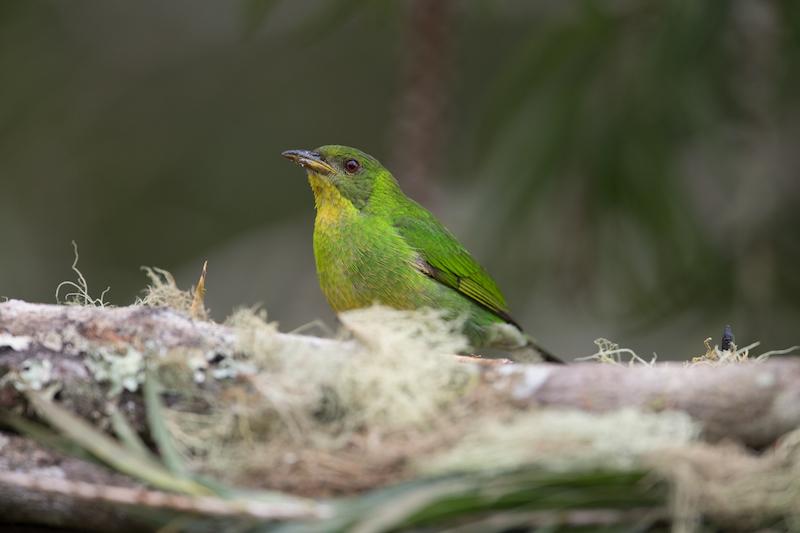 green honeycreeper female, hembra de la tangara mielera