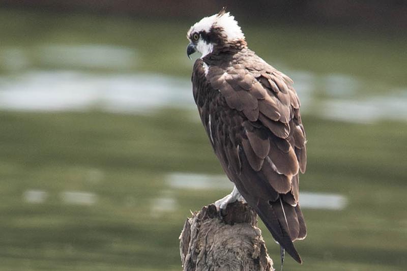 Pandion haliaetus, Osprey, Aguila Pescadora