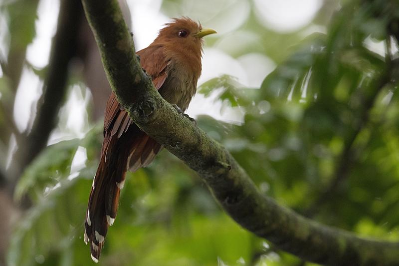 Yellow-billed cuckoo, Cuco americano, Cuculidae