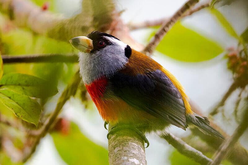 Toucan Barbet, Compas