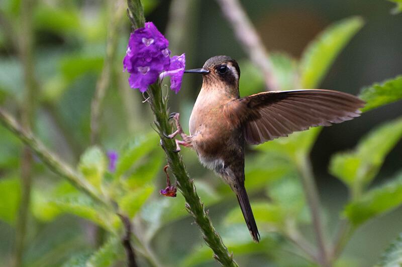 Speckled hummingbird, Adelomyia melanogenys, colibri pechipunteado, colibrí pechipunteado