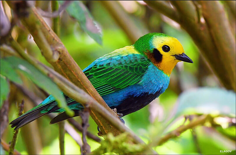 Multicolored tanager, Tangara multicolor