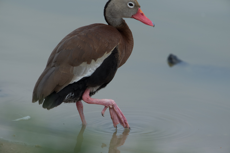 Black-bellied whistling duck| Iguaza común or Pisingo | Dendrocygna autumnalis