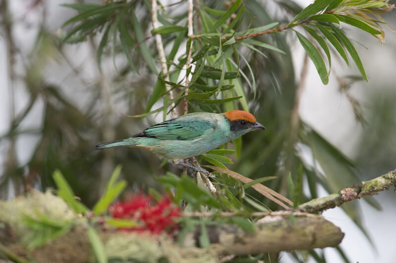 scrub-tanager male