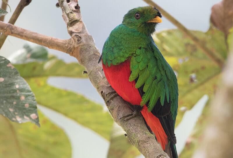 Quetzal, trogoniformes