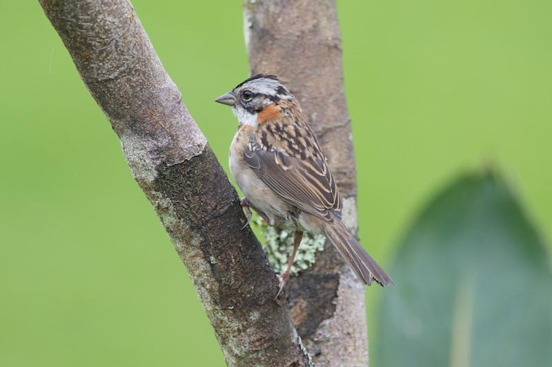 Rufous-collared-sparrow | Copentocito común | Zonotrichia capensis