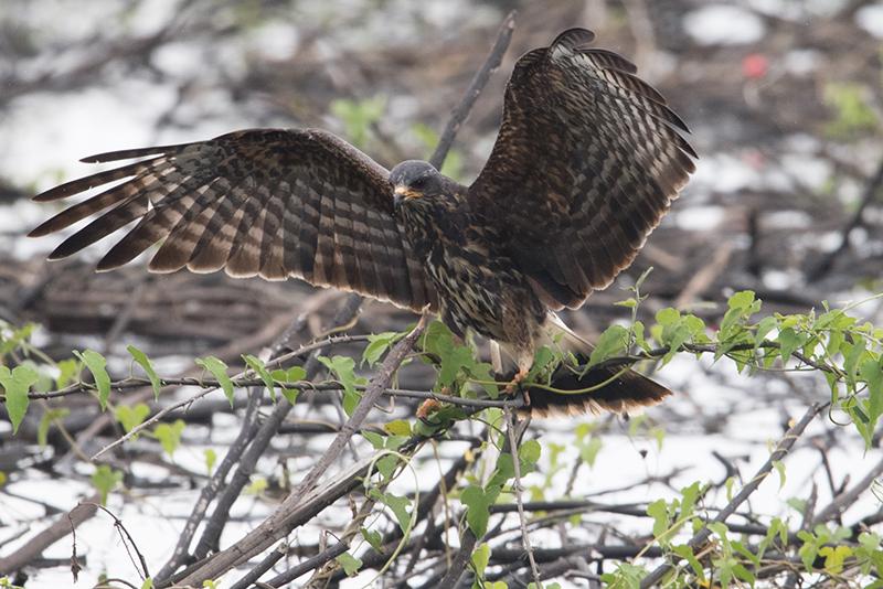 Broad-winged hawk, Halcón migratorio, Aguila migratoria