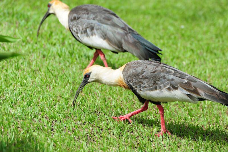 Bared-face ibis | Coquito | <em>P</em><em>himosus infuscatus</em>