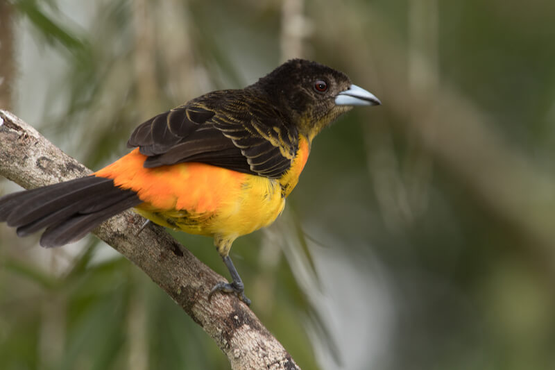 red-jumped-tanager, ramphocelus flamingerus,asoma candela female