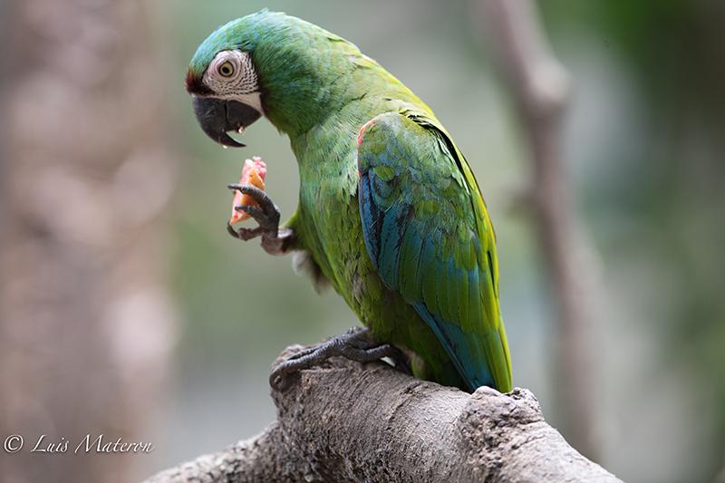 Chestnut-fronted macaw, guacamaya cariseca, ara severus