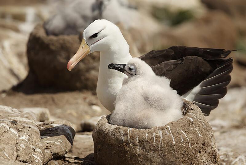 waved albatross, albatros de Galapagos, phoebastria irrorata