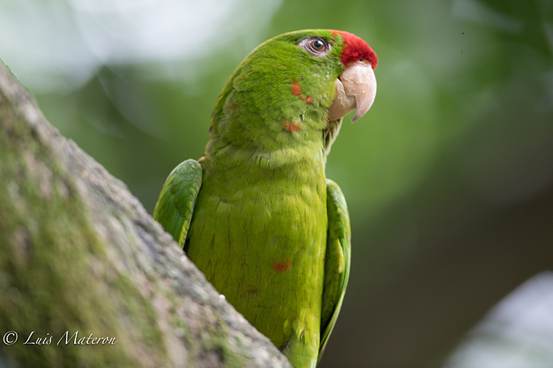 Scarlet-fronted macaw, perico chocolatero