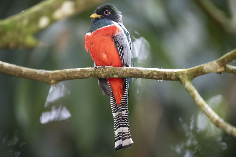 Collared Trogon - Trogon Collarejo,
