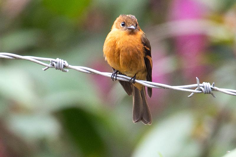 Cinnamon Flycatcher, Pyrrhomyias cinnamomeus, Atrapamoscas Canelo