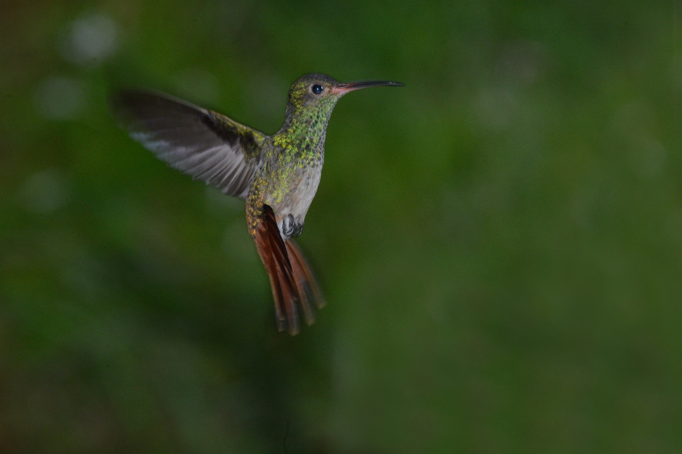 rufous-tailed female, amazilia colirrufa