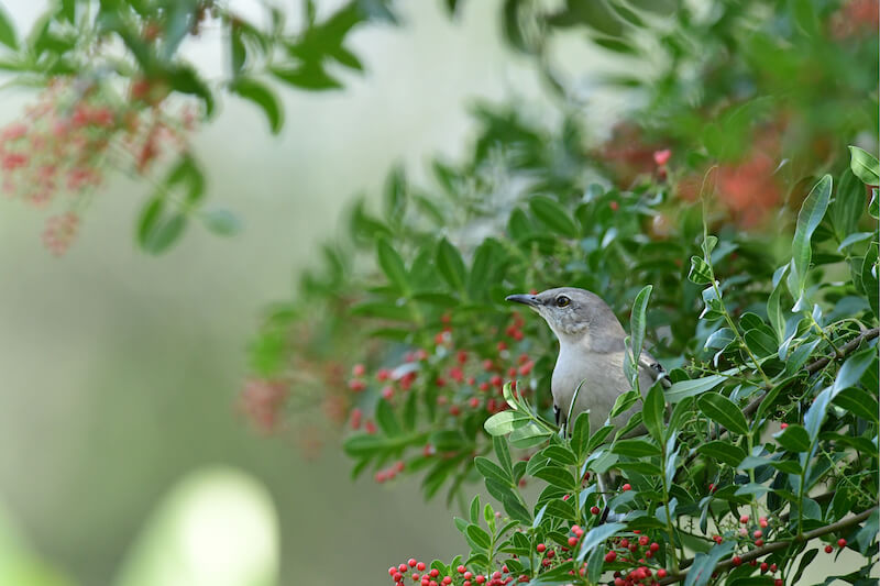 Tropical Mockingbird, Mimus gilvus, Sinsonte Comun
