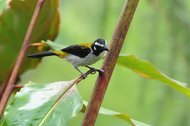 black-winged saltator, Salvador alinegro, Saltator atripennis