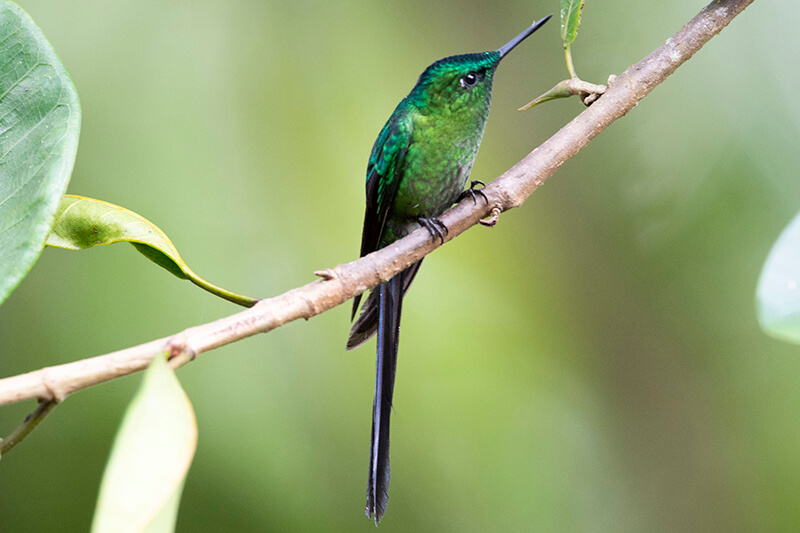 long-tailed sylph male, Aglaiocercus colestis