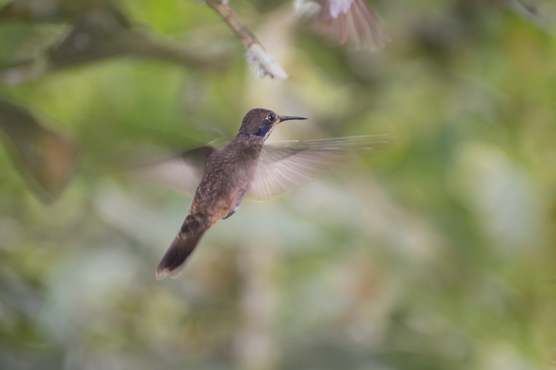 female brown violetear