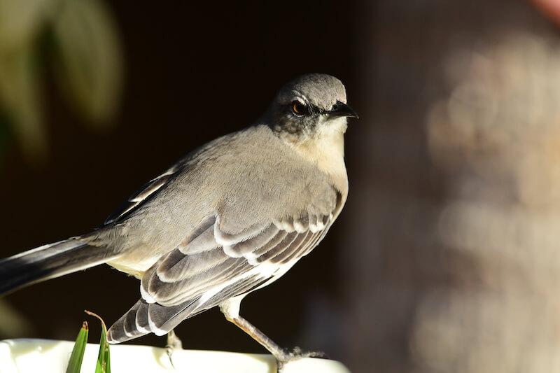 Tropical mockingbird, Sinsonte comun, Mimus gilvus